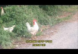 זהירות תרנגולים חוצים